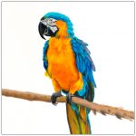 coaster-art-macaw-on-long-branch